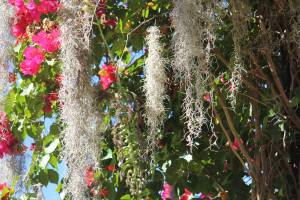 Spanish Moss, Palm, Bouganvilla