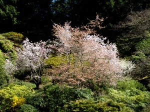 Prunus Pleasure