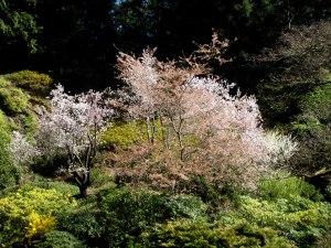 Prunus Pleasure